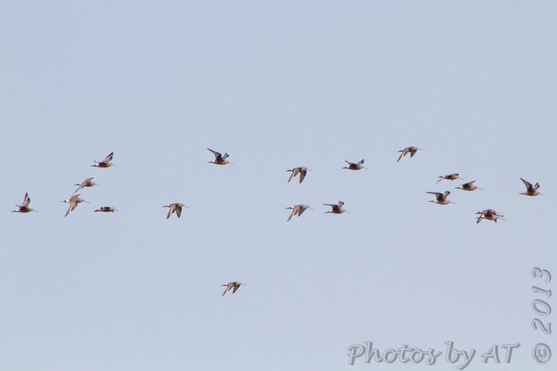 Hudsonian Godwit <br /> Ellis Bay <br /> Riverlands Migratory Bird Sanctuary
