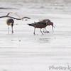 Hudsonian Godwit <br /> Lincoln Shields  <br /> Riverlands Migratory Bird Sanctuary