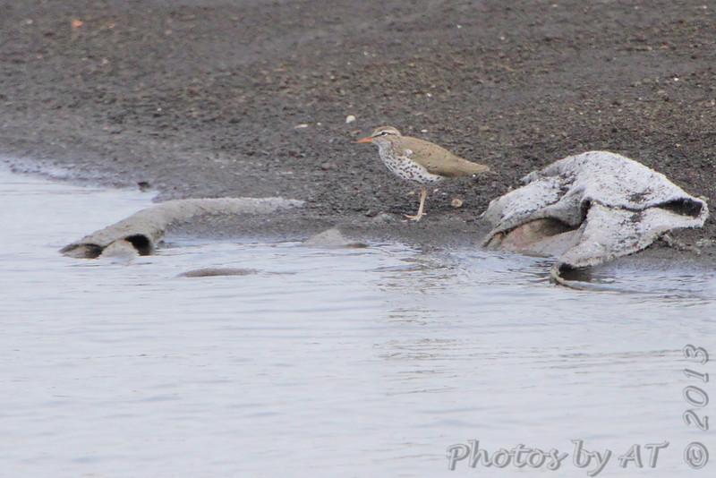 Spotted Sandpiper <br /> Ellis Bay <br /> Riverlands Migratory Bird Sanctuary area <br /> 4/17/13