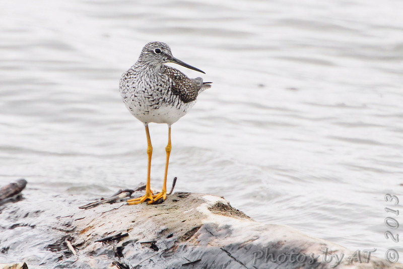 Greater Yellowlegs <br /> Ellis Bay <br /> Riverlands Migratory Bird Sanctuary<br /> 4/19/13