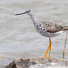 Greater Yellowlegs <br /> Ellis Bay <br /> Riverlands Migratory Bird Sanctuary<br /> 4/19/13