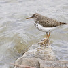 Spotted Sandpiper <br /> Below spillway <br /> Riverlands Migratory Bird Sanctuary<br /> 4/19/13