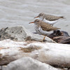Spotted Sandpipers <br /> Below spillway <br /> Riverlands Migratory Bird Sanctuary<br /> 4/19/13