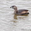 Pied-billed Grebe <br /> Ellis Bay <br /> Riverlands Migratory Bird Sanctuary<br /> 4/19/13