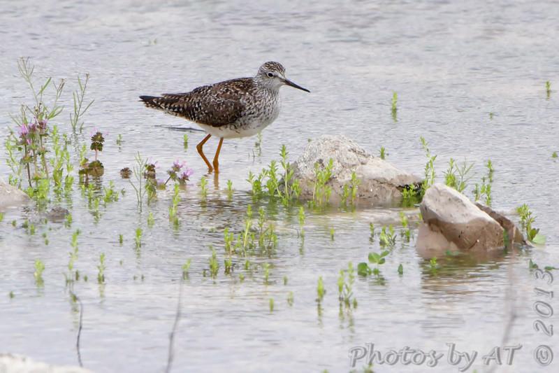 Spotted Sandpiper <br /> Below spillway <br /> Riverlands Migratory Bird Sanctuary<br /> 4/19/13