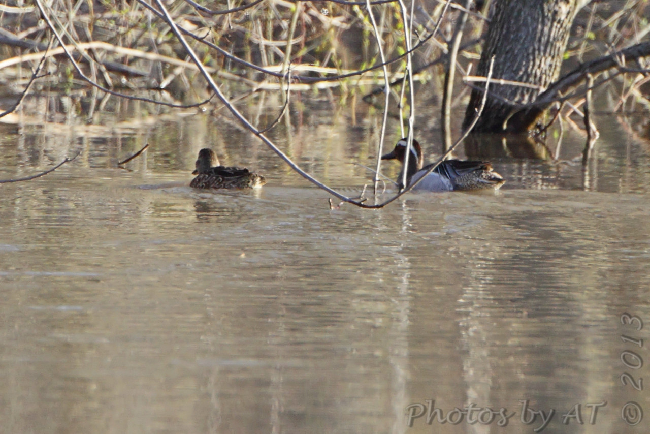 Garganey <br /> and Blue-winged Teal <br /> West of Sumner besides hwy 139 <br /> Chariton County