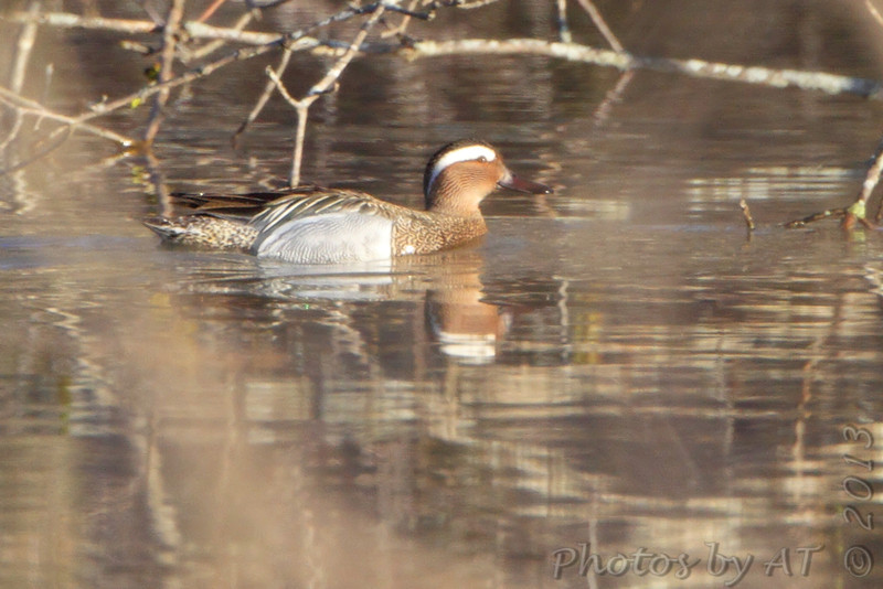 Garganey <br /> and Blue-winged Teal <br /> West of Sumner besides hwy 139 <br /> Chariton County <br /> *** 2nd Missouri record ***