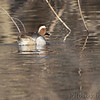 Garganey <br /> West of Sumner besides hwy 139 <br /> Chariton County