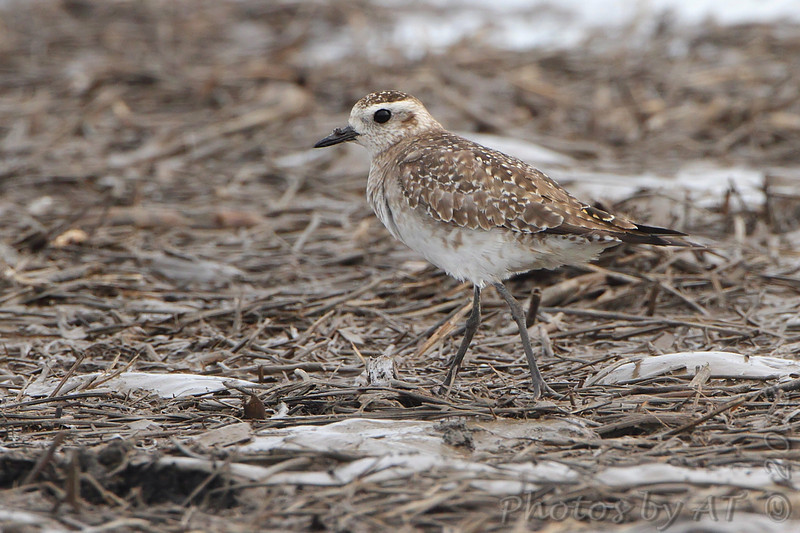 American Golden-Plover <br /> Wise Road <br /> Riverlands Migratory Bird Sanctuary