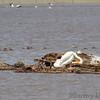 Western Grebe <br /> and Ruddy Ducks <br /> Ellis Bay <br /> Riverlands Migratory Bird Sanctuary