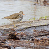 Spotted Sandpiper <br /> Ellis Bay  <br /> Riverlands Migratory Bird Sanctuary