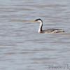 Western Grebe <br /> Ellis Bay <br /> Riverlands Migratory Bird Sanctuary