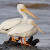 American White Pelicans <br /> Ellis Bay <br /> Riverlands Migratory Bird Sanctuary
