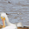 Western Grebe <br /> and Ruddy Ducks <br /> Ellis Bay <br /> Riverlands Migratory Bird Sanctuary