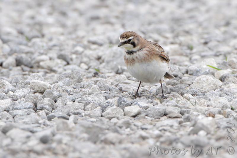 Horned lark  <br /> Columbia Bottom Conservation Area <br /> 4/26/13
