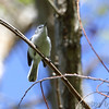Blue-gray Gnatcatcher <br /> Columbia Bottom Conservation Area<br /> 4/25/13