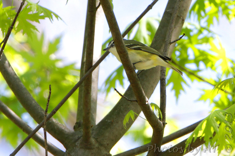 Blue-headed Vireo <br /> Columbia Bottom Conservation Area <br /> 4/25/13