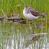Solitary Sandpiper <br /> Columbia Bottom Conservation Area <br /> 4/26/13