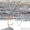 Greater Yellowlegs <br /> Columbia Bottom Conservation Area <br /> 4/26/13