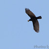 American Crow <br /> Columbia Bottom Conservation Area<br /> 4/25/13