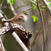 Swamp Sparrow <br /> Columbia Bottom Conservation Area<br /> 4/25/13