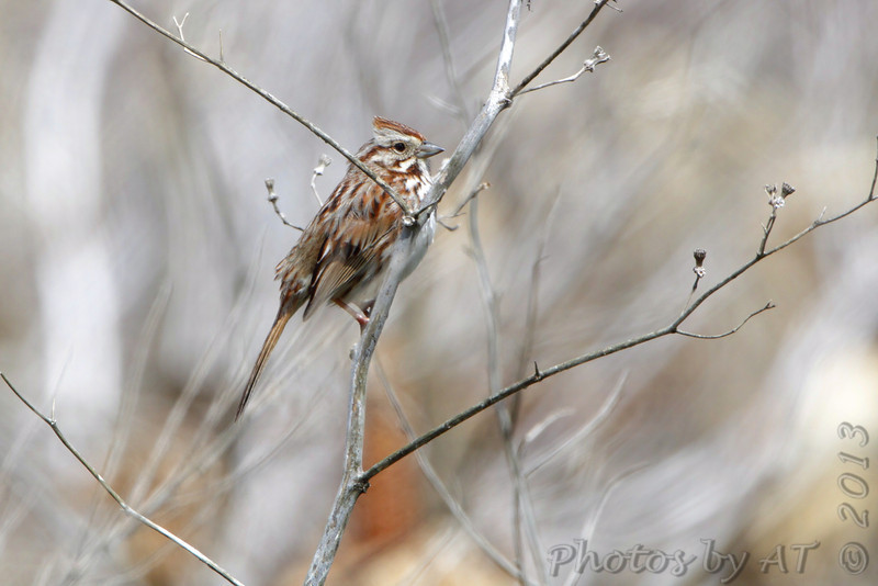 Song Sparrow <br /> Columbia Bottom Conservation Area  <br /> 4/24/13