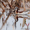 Wilson's Phalarope <br /> Wise Road <br /> Riverlands Migratory Bird Sanctuary
