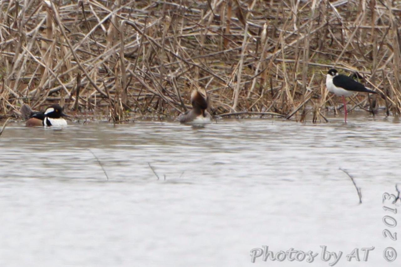 Black-necked Stilt <br /> M&F Hooded Mergansers<br /> Columbia Bottom Conservation Area