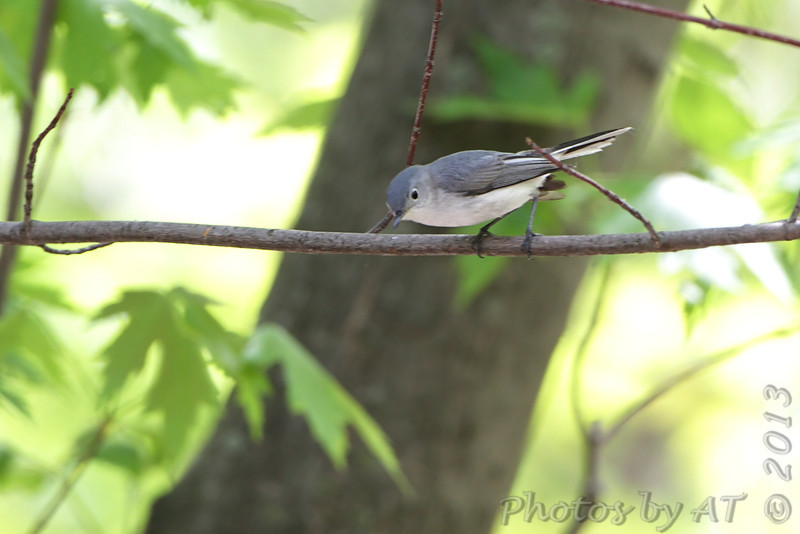 Blue-gray Gnatcatcher <br /> Riverwoods Park and Trail in Bridgeton