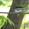 Blue-gray Gnatcatcher <br /> Riverwoods Park and Trail in Bridgeton