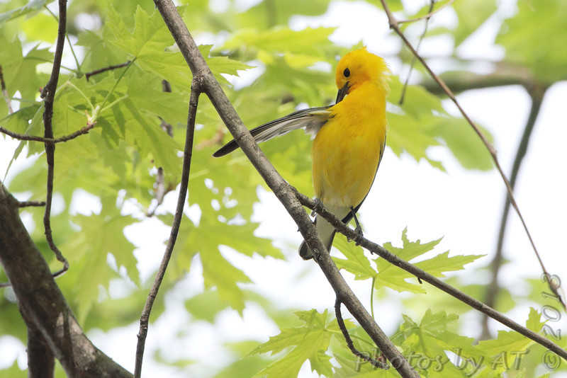 Prothonotary Warbler <br /> Riverwoods Park and Trail in Bridgeton