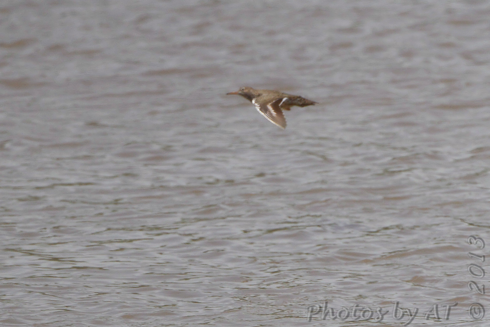 Spotted Sandpiper <br /> Riverwoods Park and Trail in Bridgeton