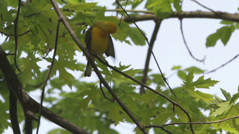 """Prothonotary Warbler<br> Riverwoods Park and Trail in Bridgeton <br><br><span class=""""noShowSmart""""> <a href=""""/MyKeywords/Bird-Videos/n-gF9bt/i-TtBDgBX/A""""> <span style=""""color:yellow"""">Click here to open video in lightbox/full screen</span></a> <br><br></span>  <span class=""""noShowGallery""""> <a href=""""/Birds/Birding-2013-April/2013-04-30/i-TtBDgBX/A""""> <span style=""""color:yellow"""">Click here to open video in lightbox/full screen</span></a> </span>"""