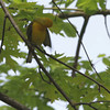 "Prothonotary Warbler<br> Riverwoods Park and Trail in Bridgeton <br><br><span class=""noShowSmart""> <a href=""/MyKeywords/Bird-Videos/n-gF9bt/i-TtBDgBX/A""> <span style=""color:yellow"">Click here to open video in lightbox/full screen</span></a> <br><br></span>  <span class=""noShowGallery""> <a href=""/Birds/Birding-2013-April/2013-04-30/i-TtBDgBX/A""> <span style=""color:yellow"">Click here to open video in lightbox/full screen</span></a> </span>"