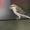 Purple Finch (female) <br /> City of Bridgeton <br /> St. Louis County, Missouri <br /> 04/04/2013 <br /> 10:41am