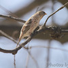 Common Redpoll (female) <br /> City of Bridgeton <br /> St. Louis County, Missouri <br /> 04/02/2013 <br /> 2:06pm