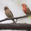House Finches <br /> City of Bridgeton <br /> St. Louis County, Missouri <br /> 04/15/2013<br /> 15:48pm