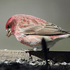 Purple Finch (male) <br /> City of Bridgeton <br /> St. Louis County, Missouri <br /> 04/05/2013 <br /> 11:12am