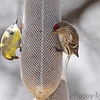 Common Redpoll (female) (last seen)<br /> and American Goldfinch <br /> City of Bridgeton <br /> St. Louis County, Missouri <br /> 04/02/2013 <br /> 2:53pm