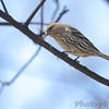 Pine Siskin <br /> City of Bridgeton <br /> St. Louis County, Missouri <br /> 04/05/2013<br /> 12:12pm