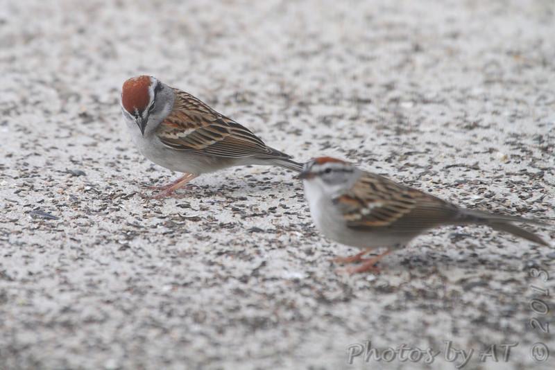 Chipping Sparrows <br /> Shot out basement door <br /> City of Bridgeton <br /> St. Louis County, Missouri  <br /> 04/06/2013<br /> 9:30am
