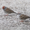 Chipping Sparrows <br /> Shot out basement door <br /> City of Bridgeton <br /> St. Louis County, Missouri  <br /> 04/06/2013<br /> 9:30am