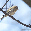 Pine Siskin <br /> City of Bridgeton <br /> St. Louis County, Missouri <br /> 04/05/2013