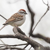 Chipping Sparrow <br /> City of Bridgeton <br /> St. Louis County, Missouri <br /> 04/15/2013<br /> 5:41pm