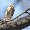 Purple Finch (female) <br /> City of Bridgeton <br /> St. Louis County, Missouri <br /> 04/04/2013 <br /> 10:40am