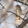 Purple Finch (female) <br /> City of Bridgeton <br /> St. Louis County, Missouri <br /> 04/04/2013 <br /> 10:43am