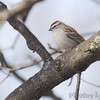 Chipping Sparrow <br /> City of Bridgeton <br /> St. Louis County, Missouri <br /> 04/08/2013<br /> 10:43am