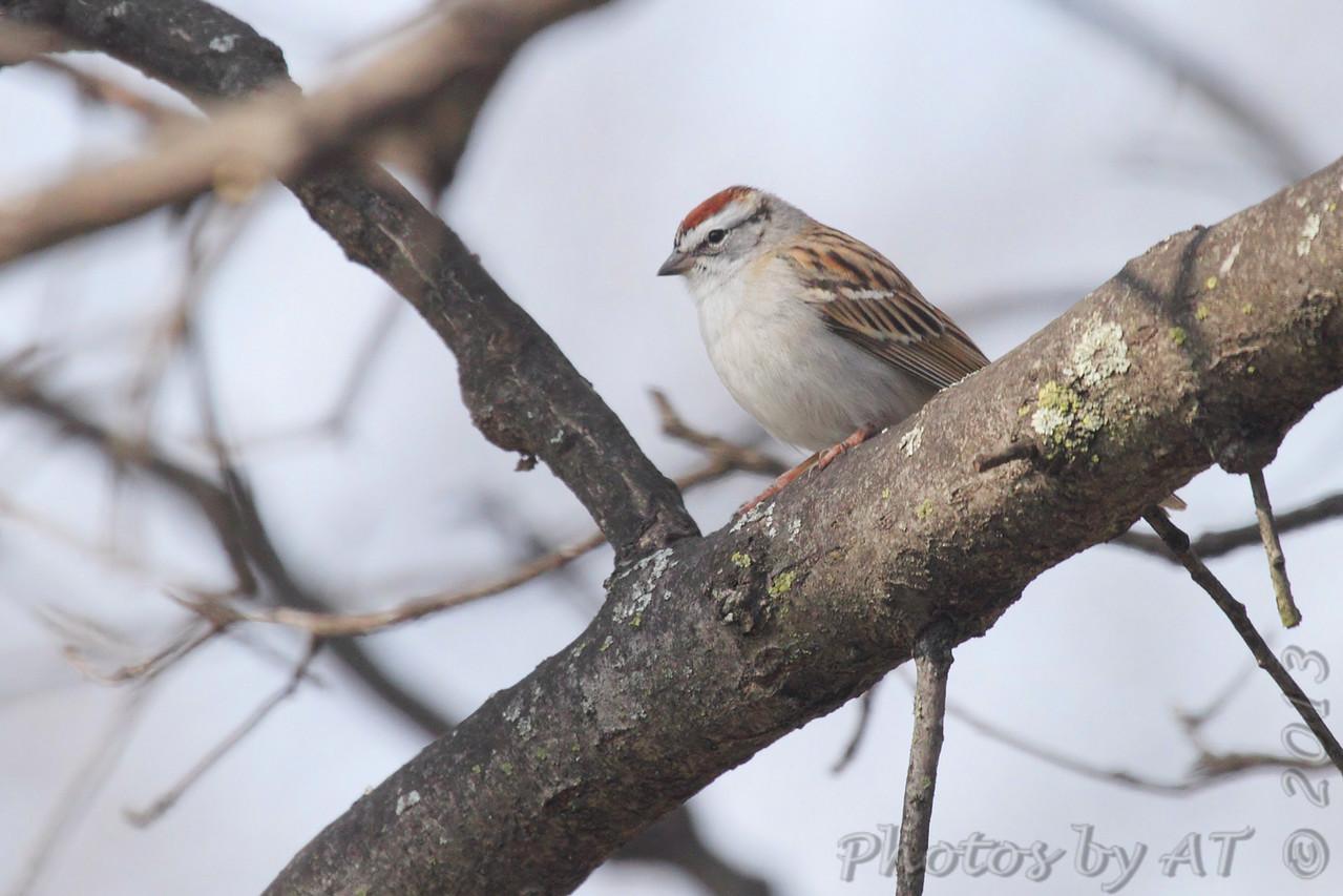 Chipping Sparrow <br /> Bridgeton, Mo. <br /> 04/08/2013<br /> 10:43am