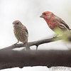 House Finches <br /> City of Bridgeton <br /> St. Louis County, Missouri <br /> 04/15/2013 <br /> 15:48pm