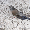 Dark-eyed Junco <br /> (possible Cassiar) <br /> City of Bridgeton <br /> St. Louis County, Missouri <br /> 04/03/2013 <br /> 11:23am